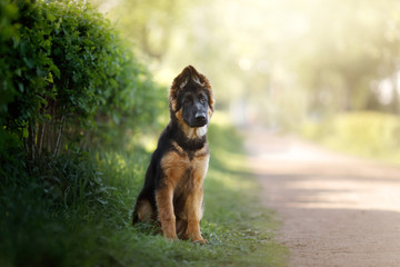German shepherd puppy in nature.dog Outdoor, outside