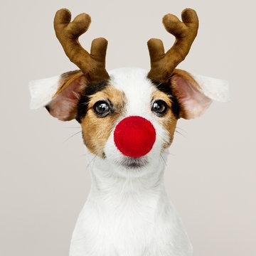 Adorable Jack Russell Retriever puppy wearing a Reindeer antler