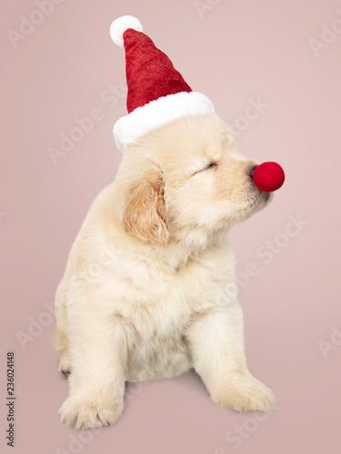 Portrait Of A Cute Golden Retriever Puppy Wearing A Santa Hat Stock