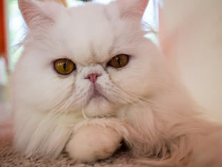Cat fur fluffy cute cat pet nobility in air-conditioned, well maintained.