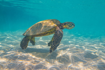Turtle swimming in clear water