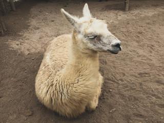 Alpaca sitting in sand in Peru