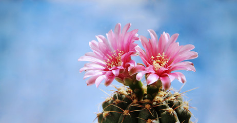 Keuken foto achterwand Cactus Flowers of a cactus against the blue sky