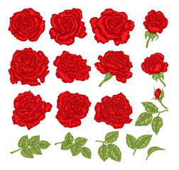 Red roses vector illustration. Hand drawn flowers and leaves. Floral design elements.