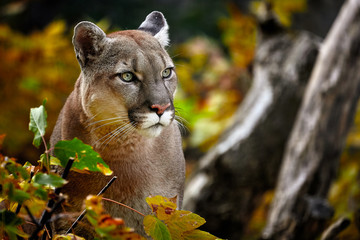 Deurstickers Puma Portrait of Beautiful Puma in autumn forest. American cougar - mountain lion, striking pose, scene in the woods, wildlife America