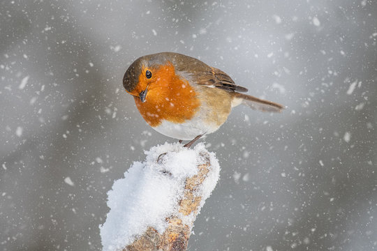 A close up portrait of a robin in the snow. Perched on a snow capped stump it is looking slightly down.