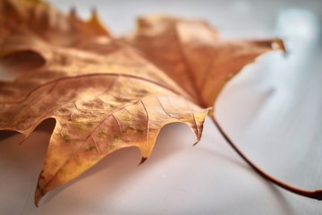 Close-up of a sugar maple leaf
