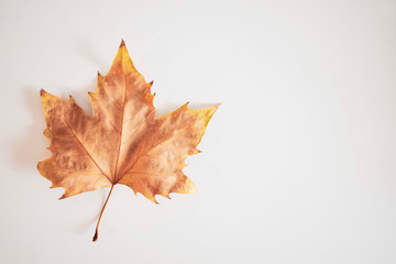 High angle view of sugar maple leaf against white background