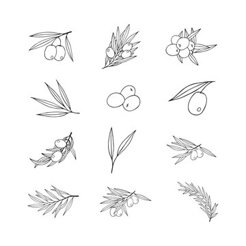 Hand drawn olive branch icons. Vintage elements for extra virgin Greek oliva oil label. Vector isolated illustration.