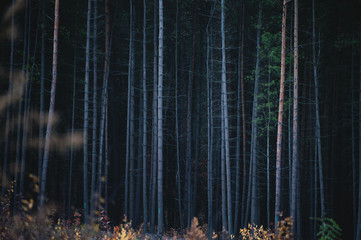 Spoed Foto op Canvas Fantasie Landschap The Bark Trunks of Dense Coniferous Forest.