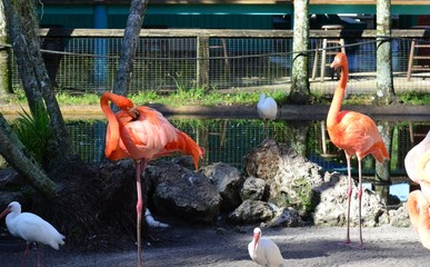 Pink Flamingo's at the Florida Keys in Florida