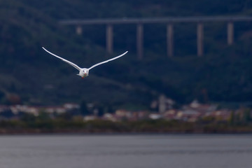 Beautiful seagull in flight on Lake Massaciuccoli with a highway overpass in the background, Tuscany, Italy