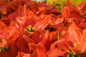 tulip, flower, spring, tulipa, darwiorange,