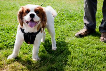 Puppy on a walk in the Queen Elizabeth Forest Park. Scotland