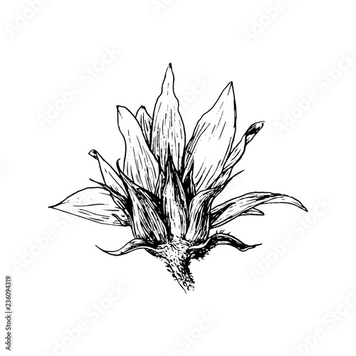 Flower black and white realistic. Sunflower hand drawn vector
