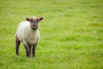 Cute Lamb, Seaford Head, East Sussex, UK