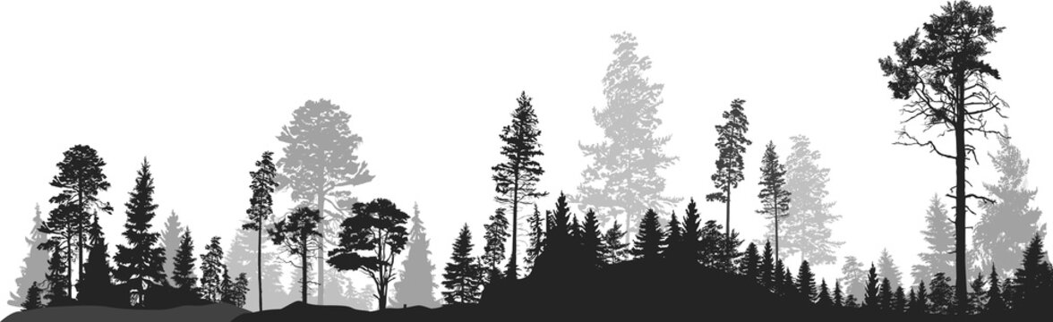 panorama of high grey fir trees forest on white