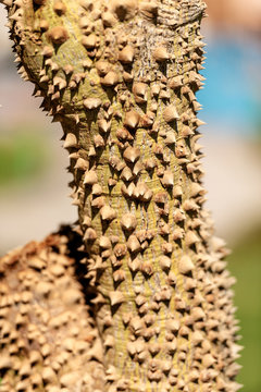 Tree Trunk with Large Thorns - Ceiba Speciosa