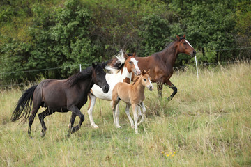 Fototapete - Batch of horses running on pasturage