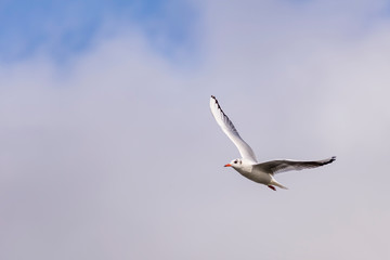 Beautiful seagull flies high in the partly cloudy sky