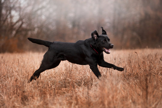 Labrador dog breed in the autumn forest