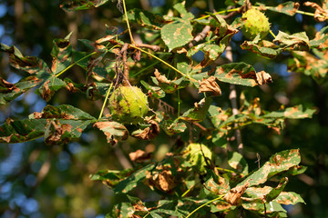 Horse-chestnuts fruit on tree branch