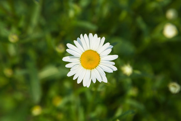 Neat beautiful daisy on the background of blurred green grass and foliage. Chamomile or camomile flower close-up in the field, top view. Plant landscape.