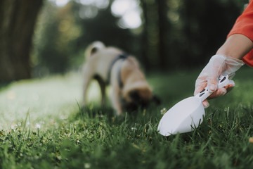 Close up of owners hand in glove with scoop is cleaning up after dog on grass with pug on background