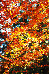 Orange, green and red colours of autumn forest leaves in Carpathian mountains