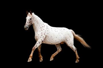 running appaloosa horse isolated on black background