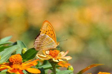 Argynnis paphia, Silver Washed Fritillary butterfly on flowers.  Butterfly collecting nectar on flowers in the garden.