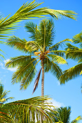 palm, tree, tropical, sky, coconut, beach, palm tree, nature, green, summer, blue, island, sun, trees, vacation, caribbean, travel, leaf, exotic, sea, plant, palms, holiday, relax, paradise