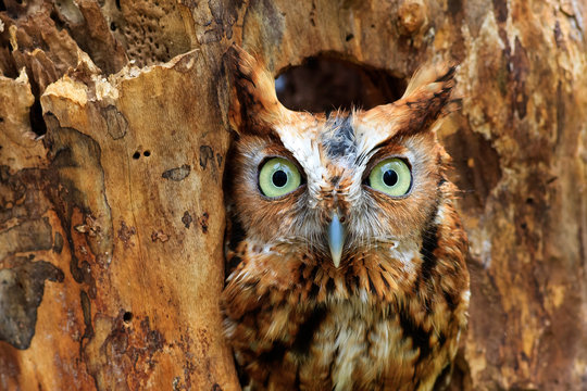 Eastern Screech Owl Perched in a Hole in a Tree