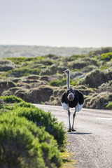 Poster Struisvogel Male ostrich walking along the tarred road of the Cape of Good Hope, South Africa.