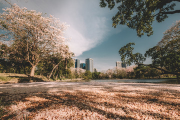 Pink tabebuia rosea blossom cherry flowers fall in the river at Suan Rod Fire, Bangkok, Thailand