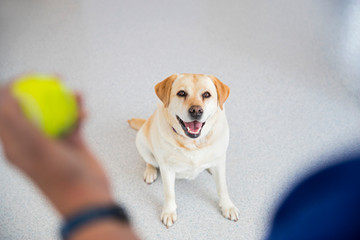 Obedience training labrador dog with ball in vet surgery