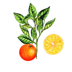 Isolated botanical illustration of orange fruit