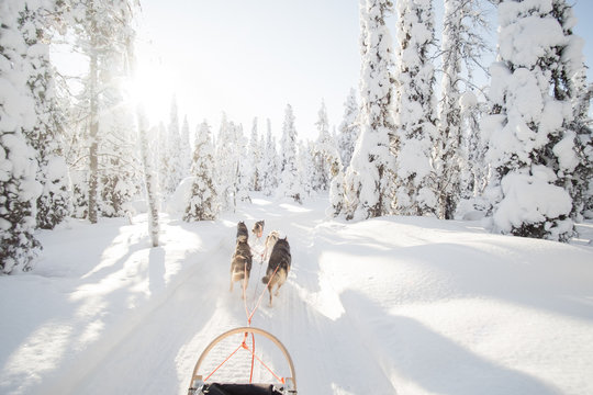 Dog sledding in Lapland.