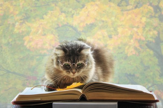 Beautiful gray cat with glasses reading a book