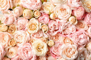 Many beautiful roses as background, top view