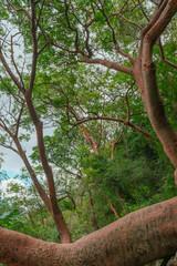 Wild majestic tree in the rainforest