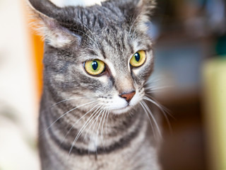 The beautiful gray cat looks around herself