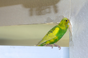 Little yellow green wavy parrot, sitting on a branch, Gnaws tears scratches the wall, causing harm to paper wallpaper