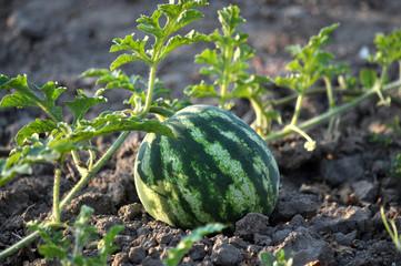 In the field ripens watermelon