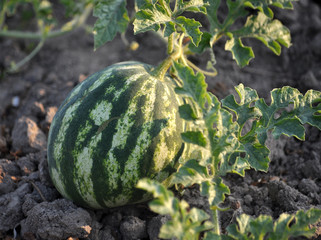 In the field ripens watermelon