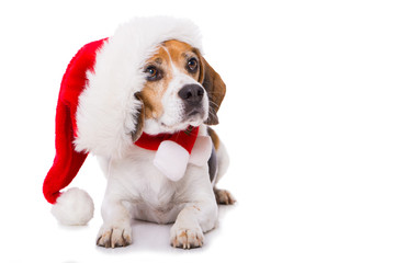 Adult beagle dog with santa hat lying  isolated on white background and looking to the camera