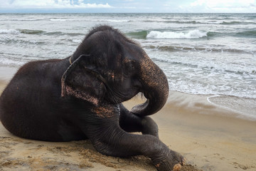 Elephant is lying on the tropical ocean beach. Tropical coast of Sri Lanka