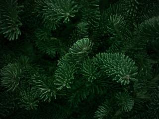Dark Green Fraser Fir Christmas Texture Background