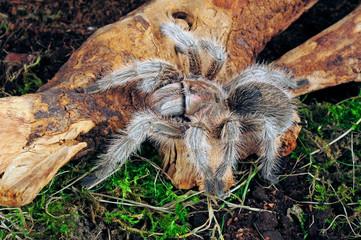 """tropische Vogelspinne (Grammostola sp. north"""") - tarantula"""