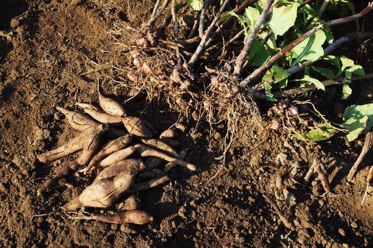 Kitchen garden / Harvest of Yacon